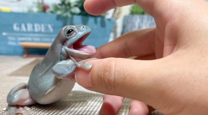 3カ月で730万回再生突破!破壊力抜群のカエルの可愛さを届ける YouTubeチャンネル「ぴよのカエルch」の動画制作とカエル飼育の裏話